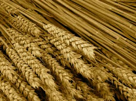 ADHD and Wheat/Gluten Sensitivity